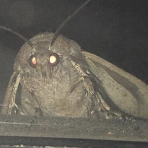 Moth Lamp: blank meme template