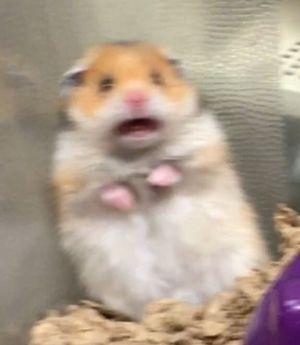 Scared Hamster Meming Wiki