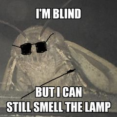 Moth Lamp meme #4